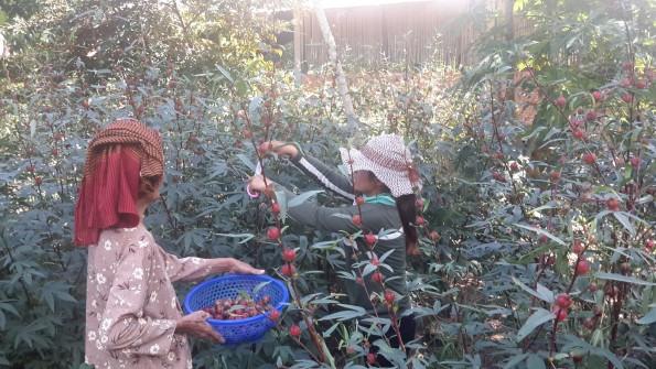 ハイビスカスティの原料、ローゼルを収穫中
