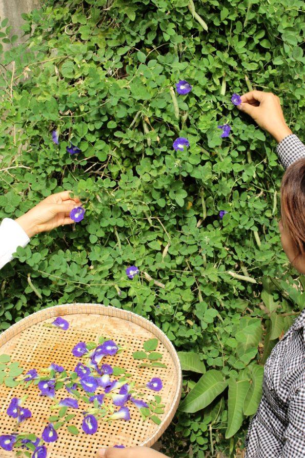 蝶豆花を、ひとつずつ摘み取る